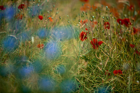 cornflower: Field of Red Corn Poppy and Blue Cornflower in Summer Stock Photo