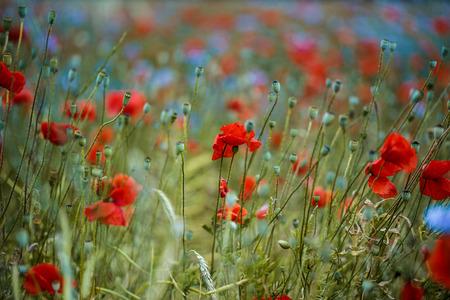 fiordaliso: Campo di Red Papavero e Blue Fiordaliso in estate