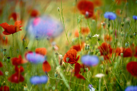 cornflower: Field of Red Corn Poppy and Blue Cornflower in Summer Stock Photo