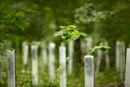 夏の森で若いオーク苗