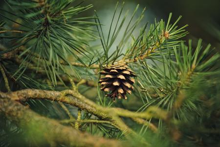 arbol de pino: Rama de árbol de pino con agujas y cono del pino