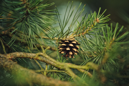 Branch of Pine Tree with needles and Pine Cone
