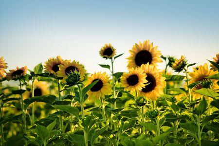 girasol: Campo de girasoles en una soleada tarde de verano