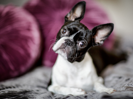 funny boston terrier: Boston Terrier Fina relaxing on her masters bed Stock Photo