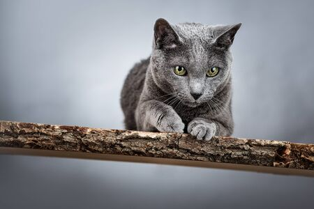 russian blue: Portrait of an elegant purebred Russian Blue Cat Stock Photo