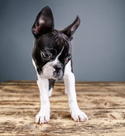 wide angle lens: Wide Angle Lens Boston Terrier Studio Portrait Stock Photo
