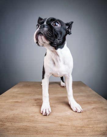 funny boston terrier: Wide Angle Lens Boston Terrier Studio Portrait Stock Photo