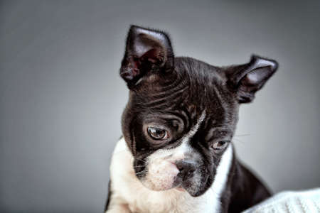 Wide Angle Lens Boston Terrier Studio Portrait 写真素材