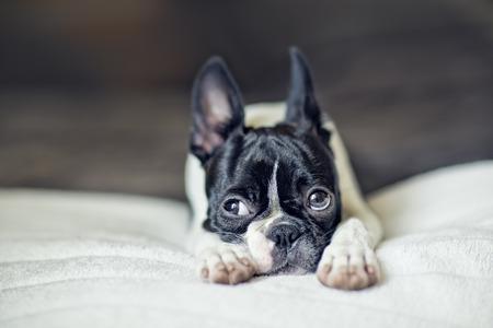 funny boston terrier: Boston Terrier Puppy on white Blanket