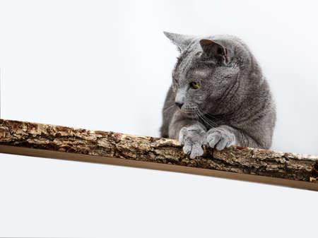 housecat: Portrait of an elegant purebred Russian Blue Cat Stock Photo