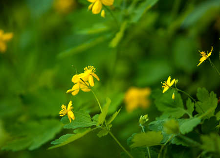 buttercup: Bright Yellow Buttercup Flowers in Spring