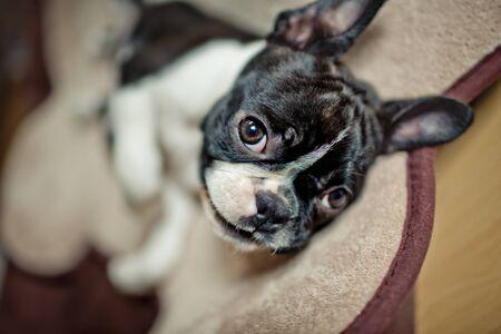 funny boston terrier: Boston Terrier Fina relaxing on her Doggie Bed
