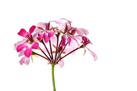 Bright Geranium Flower