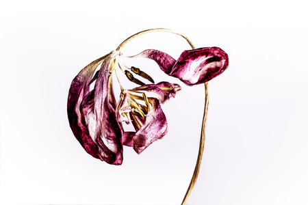 wilted: Dead and wilted Tulip Blossom