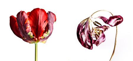 노화와 부패의 개념으로 신선한 든 튤립 꽃 개념 샷
