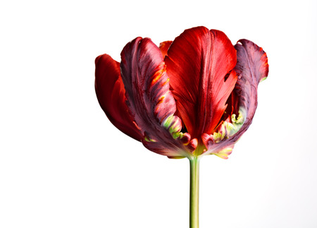 ageing: Bright Red Tulip Blossom
