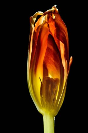 bisected: Tulip cut in half with backlight on black background Stock Photo