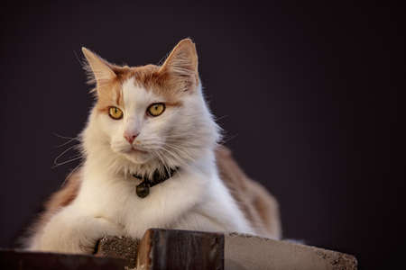 housecat: Animal Portrait of a curious house cat looking out