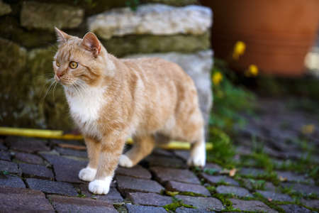housecat: Animal Portrait of a house cat walking the streets