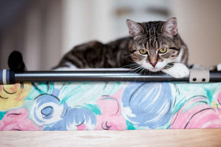 housecat: Animal Portrait of a house cat while playing and relaxing
