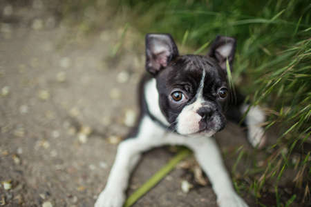 funny boston terrier: Young Boston Terrier Puppy
