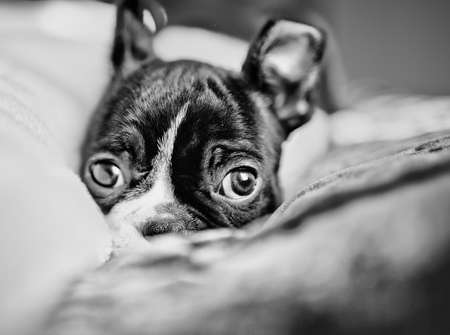 whelp: Young Boston Terrier Puppy