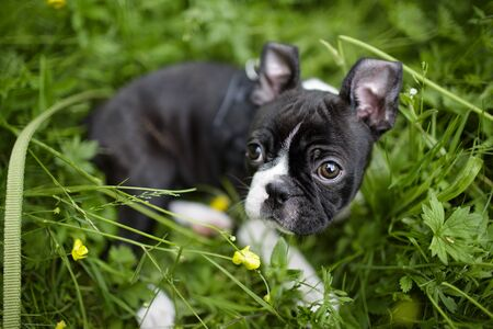 boston terrier: Young Boston Terrier Puppy
