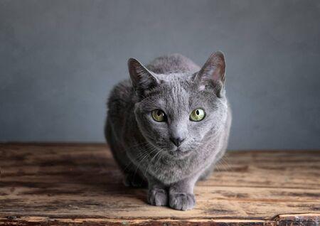 housecat: Portrait of a purebred Russian Blue Cat