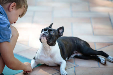eyeing: Boston Terrier eyeing boy who wants to play Outdoors on a warm sunny summer day