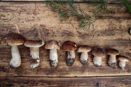 collected: In German Forest Collected Fresh Porcino or Porcini Mushrooms in Autumn