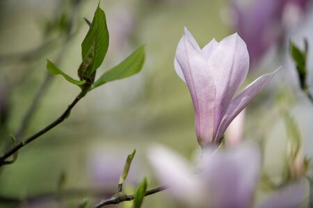 fineart: Flowering magnolia tree densely covered with beautiful fresh pink flowers in spring