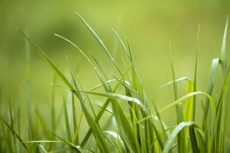 dewdrop: Background with Fresh Spring Grass with Dew Drops and Soft Background in Green