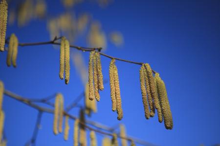 hazel branches: Catkins on Hazel Bush in early Spring