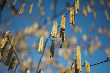 catkins: Catkins on Hazel Bush in early Spring