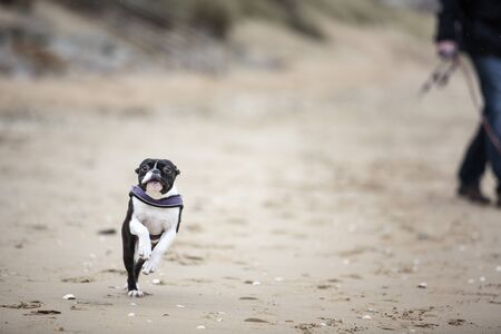 funny boston terrier: Man playing with agile black and white Boston Terrier  on a sandy beach in Normady on a sunny day