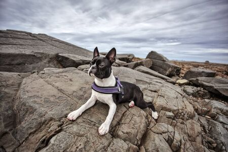 cotes d armor: Portrait of Boston Terrier at the stony Beach in Brittany France in Summer Stock Photo