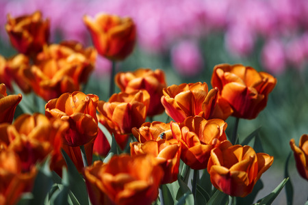 Beautiful bright Flower Bed with Tulips on a sunny Spring Day