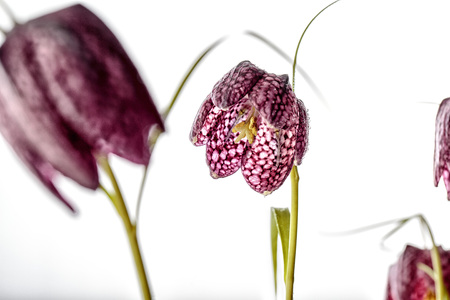 Close up of Beautifil Purple Fritillaria meleagris flowers on White Background Stock Photo