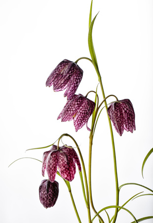 lazarus: Close up of Beautifil Purple Fritillaria meleagris flowers on White Background Stock Photo