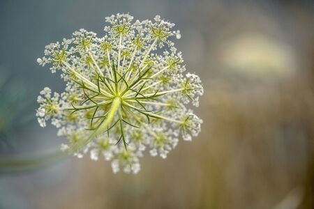 Close Up of Fragile Dill Umbels on Summer Meadow on a sunny day