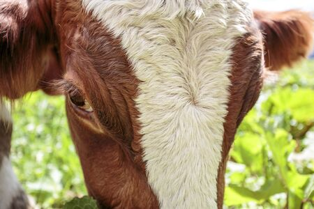 Happy Brown and White flecked Cows in the European Alps in Austria Muehlbach am Hochkoenig near Salzburg Stock Photo