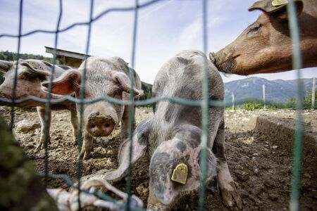 Pigs on the Farm in the Alps in an Outdoor Pigpen