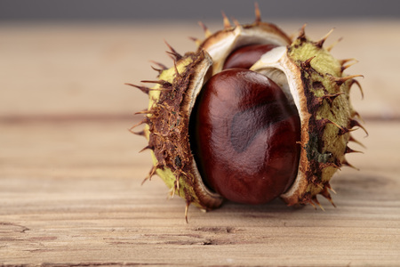 Fresh Buckeye or Horse Chestnut in Autumn with Capsules