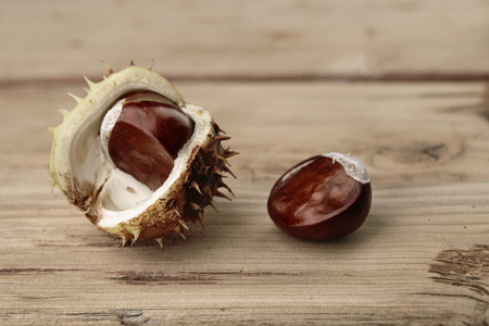 horse chestnut seed: Fresh Buckeye or Horse Chestnut in Autumn with Capsules