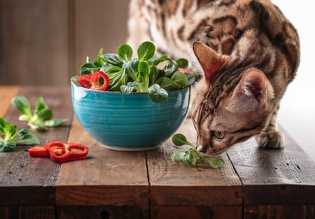 Studio Shot of fresh green Corn Salad with sweet pepper paprika rings with bengal cat inspecting curiously 写真素材