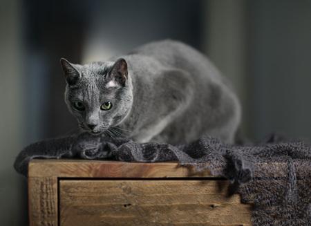Studio Portrait of a Russian Blue Cat