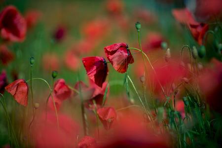 Field of Corn Poppy Flowers Papaver rhoeas in Summer Stock Photo