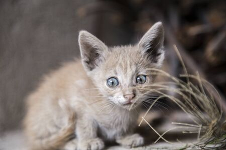 small yellow cat with blue eyes Stock Photo