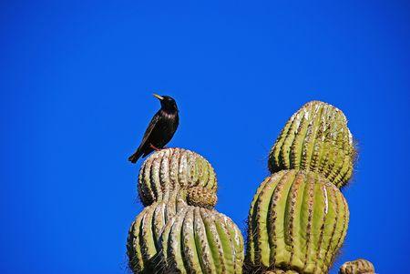 Black bird per ched on Saguaro cactus Banco de Imagens