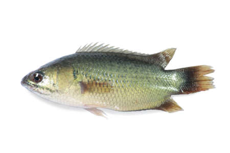 Thai cichlid fish isolated on white background